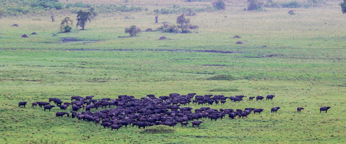 Herds-of-Buffaloes-in-Kidepo