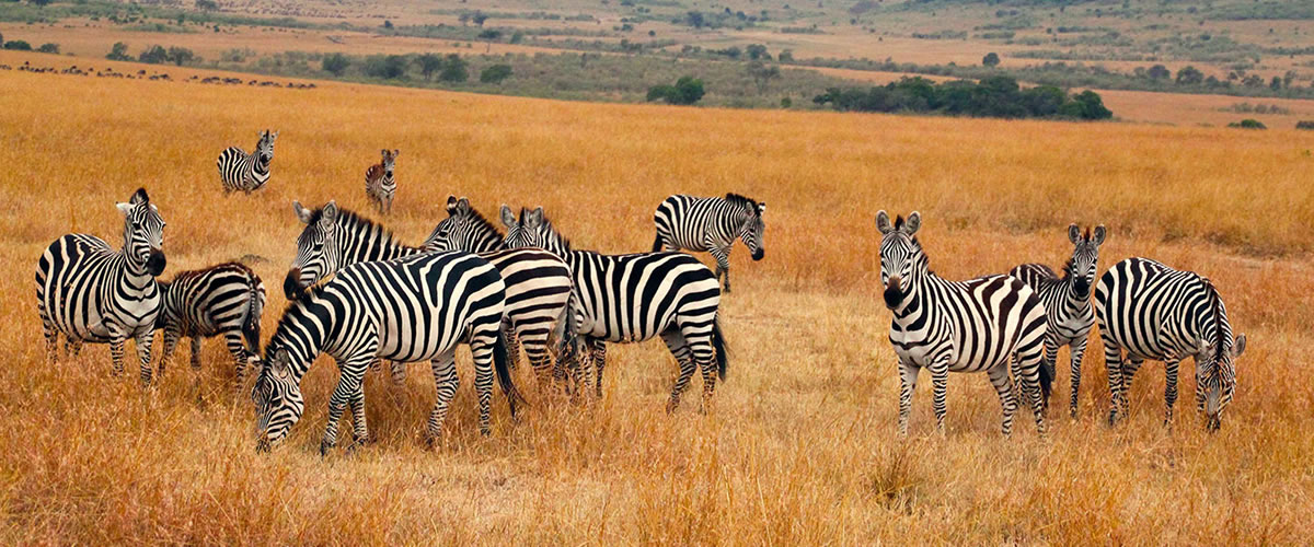 Zebras-in-Kidepo-Valley-National-Park